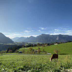 Kühe am Pinzgerhof