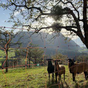 Kamerun Schafe